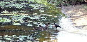 Spotted Whistling Ducks with Glossy Ibis