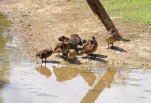 Spotted Whistling Ducks preening