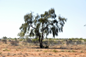 Waddi Tree - Acacia peuce just outside Boulia on the road to Bedourie