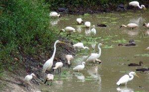 Waterbirds in muddy pond