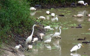 Waterbirds in muddy pond