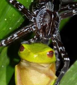 Dolomedes with Litoria gracilenta-002