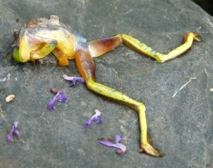 Litoria gracilenta corpse-001