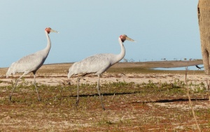 Brolga on Lake Pinaroo