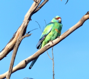 Mallee Ringneck-cold morning2