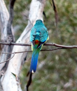 Mulga Parrot back view