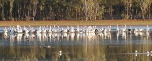 Pelicans Lake Hattah