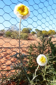 Poached Egg Daisy against the fence