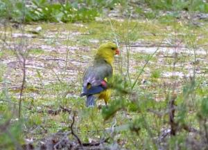 Regent Parrot2