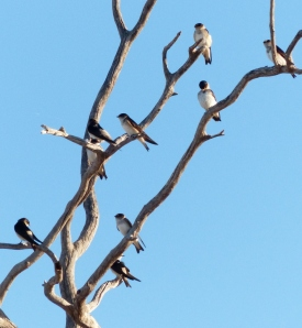Tree Martins perched in afternoon light