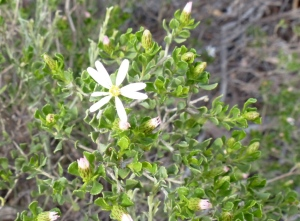 Olearia muelleri - Mueller Daisy-bush