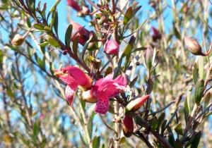 Eremophila - pink
