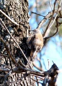 Female White-browed Tree-creeper