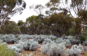 Mallee gums with grey shrub understorey
