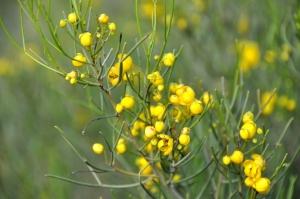 Senna artemisioides ssp. filifolia