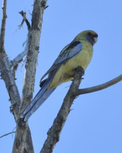 Yellow Rosella at the end of the day with the light fading.