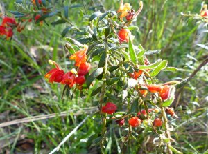 Cat's claw Grevillea - Grevillea alpina