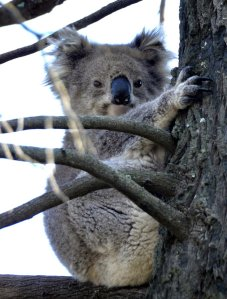 Koala woken briefly by our conversation.