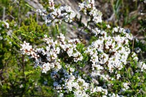 Leptospermum sp. with bee