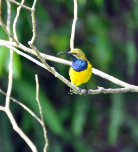 WW20101011_Wild_Wings_Swampy_Things_Birds_Olivebacked Sunbird