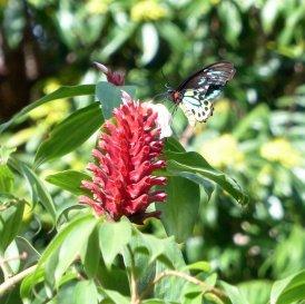 20140523Wild_Wings_Swampy_Things_male birdwing on Costus