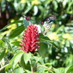 20140523Wild_Wings_Swampy_Things_male birdwing on Costus