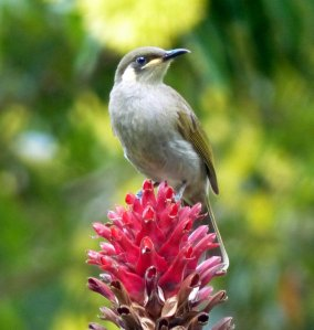 20140523Wild_Wings_Swampy_Things_yellow-spotted honeyeater1