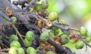 20140606_Wild_Wings_Swampy_Things_Ficus congesta fruit