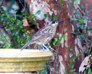 20140606_Wild_Wings_Swampy_Things_Macleay's Honeyeater on birdbath