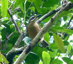 Victoria's Riflebird, female or immature