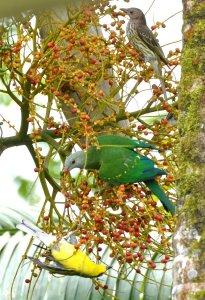 20140721_Wild_Wings_Swampy-Things_Wompoo_ Fig birds