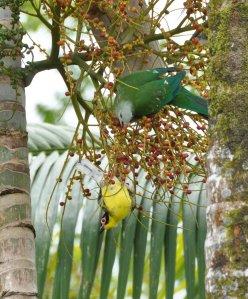 20140721_Wild_Wings_Swampy-Things_Wompoo_ Fig birds1