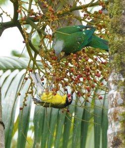20140721_Wild_Wings_Swampy-Things_Wompoo_ Fig birds2
