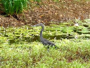 Great-billed Heron waiting patiently in the shallows