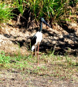 Female Black-necked Stork