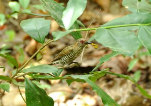 Gould's Bronze-Cuckoo with a  Four O'Clock Moth (Dysphania fenestrata) larva