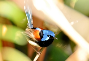 Male Lovely Fairy-wren