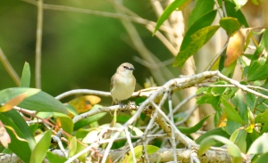 Large-billed Gerygone