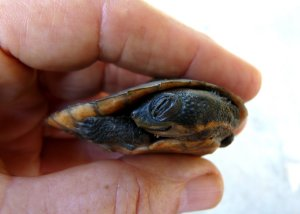Saw-shelled Turtle - Front view with head tucked sideways in protective position