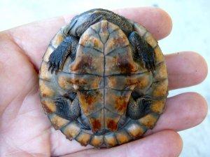 20150831_Wild_Wings_Swampy_Things_Saw-shelled turtle underside