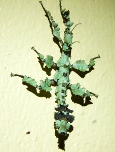 20150907_Wild_Wings_Swampy_Things_ Spiny-leaf Insect