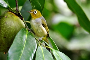 Silvereye with Black Sapote