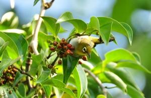 Silvereye in Common Pepper Vine