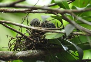Wompoo Fruit-dove nestling