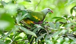 Wompoo Fruit-dove on nest