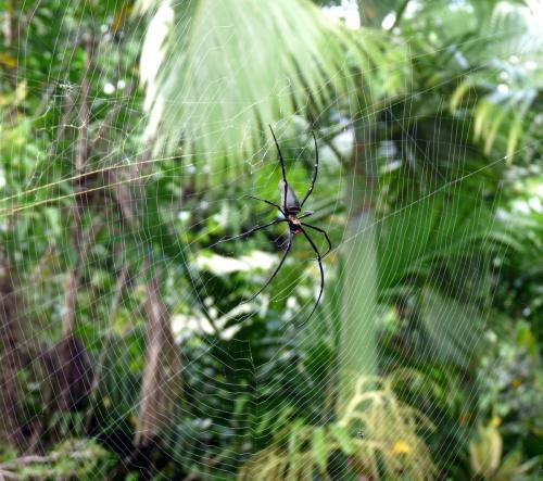 1-nephila-pilipes-on-reconstructed-web