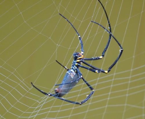 2-nephila-pilipes-reconstructing-her-web