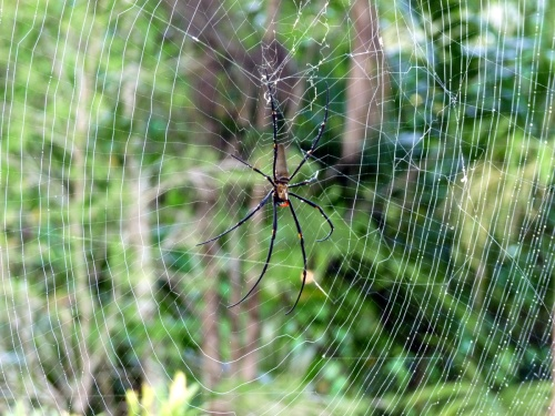 nephila-on-earlier-web