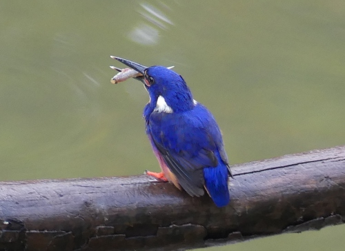1-azure-kingfisher-with-fish-13-12-2016-7-02-50-am