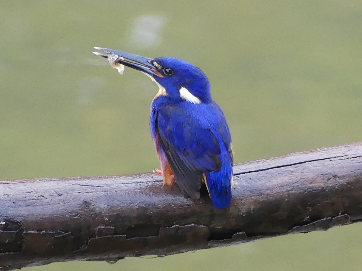 1-azure-kingfisher-with-fish